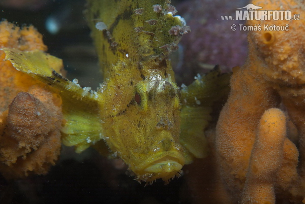 leaf scorpionfish - photo #12