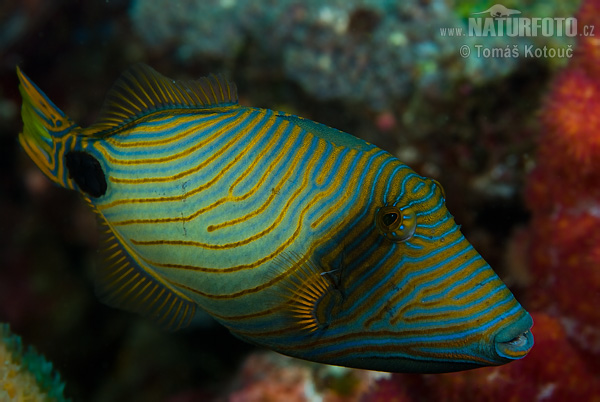 Orange-lined triggerfish (Balistapus undulatus)
