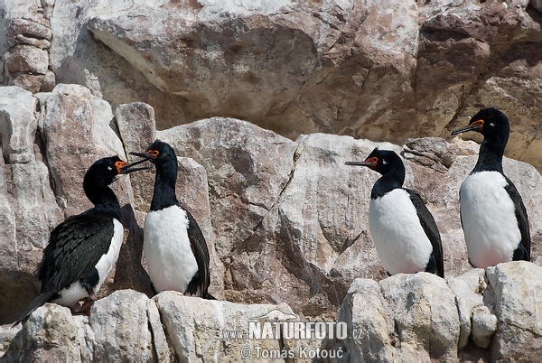 Rock Shag (Phalacrocorax magellanicus)