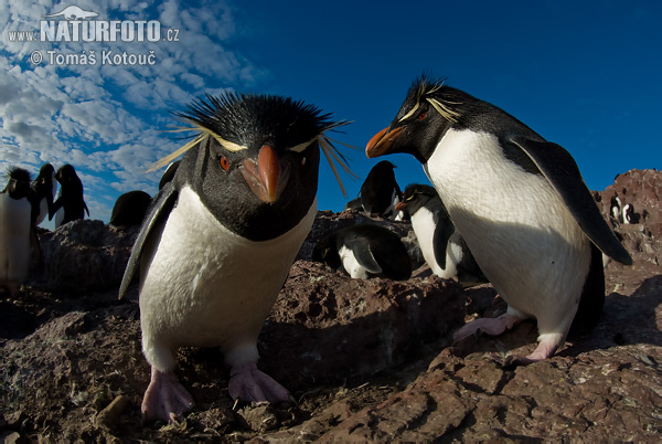 Rockhopper (Eudyptes chrysocome)
