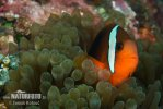 Amphiprion sp.