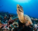 Atlantic Hawksbill Turtle