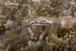 Orange spotted pipefish