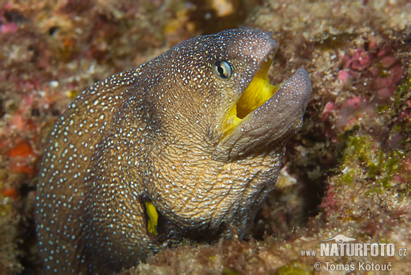 Yellow-mouth Eel (Gymnothorax nudivomer)