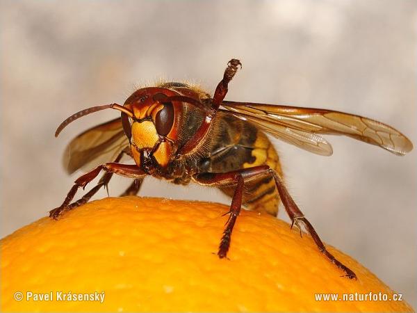 スズメバチの画像 p1_12
