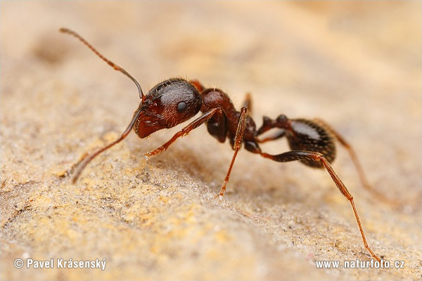 Ant (Messor structor)