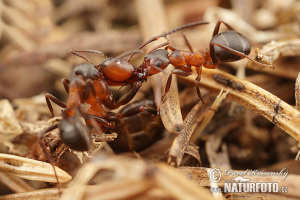Ant Formica foreli (Formica foreli)