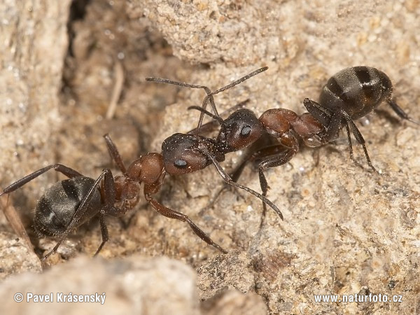 Ants - Fight for colony (Formica sp.)