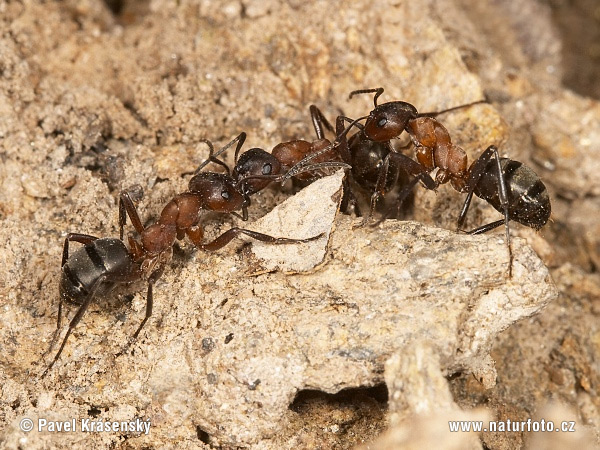 Ant Colonies Fight