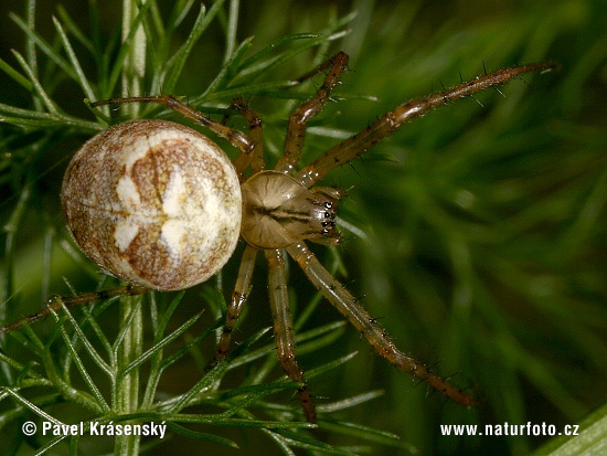 Autumn Spider (Metellina segmentata)