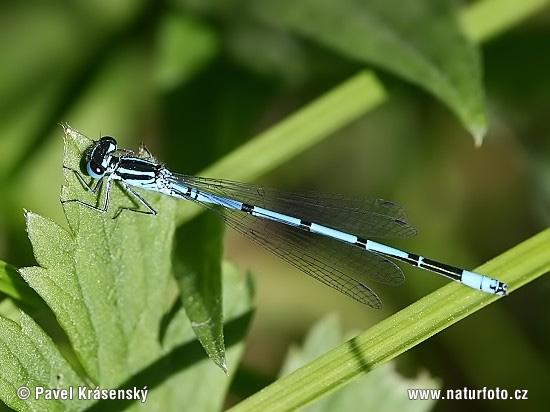 azure damsel flies fly - photo #23