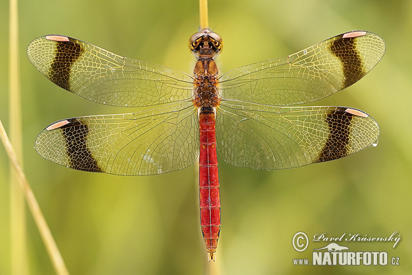 Banded Darter Pictures, Banded Darter Images NaturePhoto