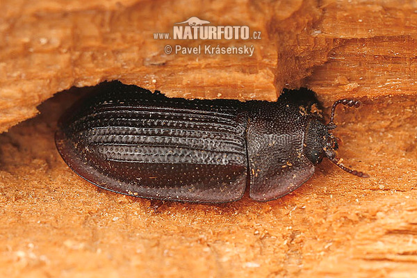 Bark-gnawing Beetle (Ostoma ferruginea)
