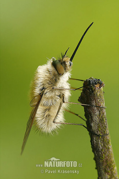 Bee Fly (Bombylius sp.)