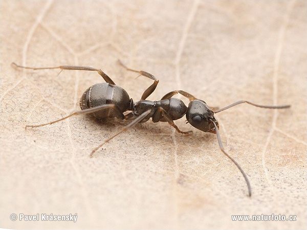 Black Ant (Formica fusca)