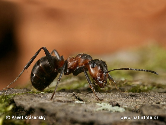 Black-Backed Meadow Ant (Formica pratensis)
