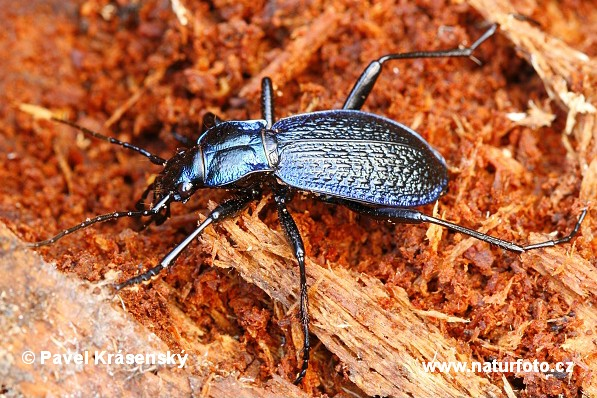 Blue Ground Beetle (Carabus intricatus)