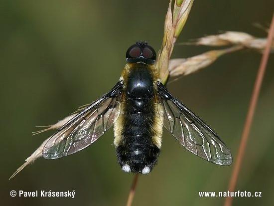 http://www.naturephoto-cz.com/photos/krasensky/bombyliidae-1123.jpg