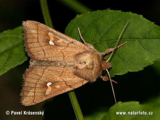 Brown-line Bright-eye (Mythimna conigera)