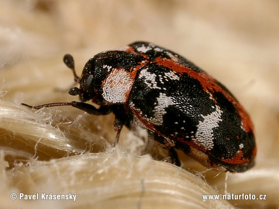 Buffalo Carpet Beetle (Anthrenus scrophulariae)