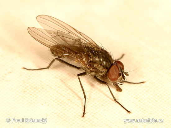 Cabbage Root Fly (Delia sp.)