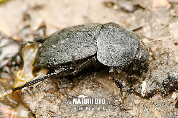 Carrion Beetle (Silpha obscura)