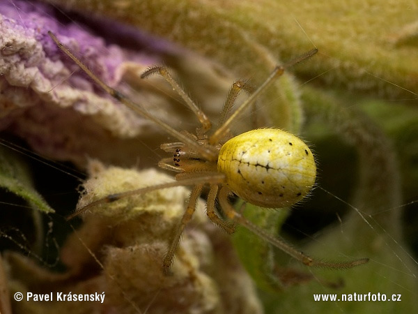 Comb-footed Spider (Enoplognatha ovata)
