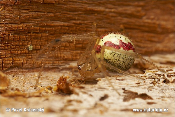 Comb-footed Spider (Enoplognatha sp.)