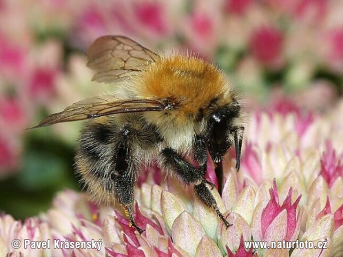 Common Carder-bee (Bombus pascuorum)