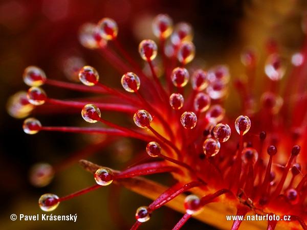 questa bellissima foto è il particolare di una pianta medicinale, bellissima vero? dans fiori e piante common-sundev-0219