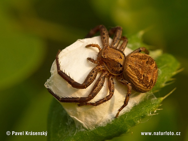 Crab Spider (Xysticus sp.)