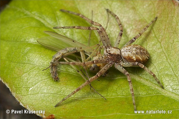Crab Spider (Philodromus sp.)