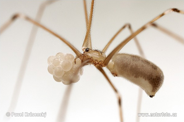 Daddy-long-legs Spider (Pholcus sp.)
