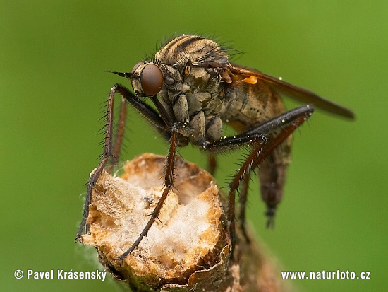 Dance Fly (Empis tesselata)