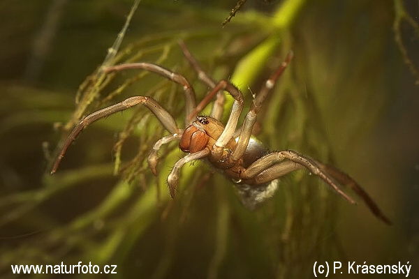 Diving bell spider (Argyroneta aquatica)