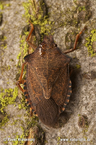 Dock leaf Bug (Arma custos)