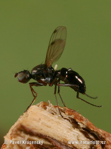 Dung Fly (Sepsis cynipsea)