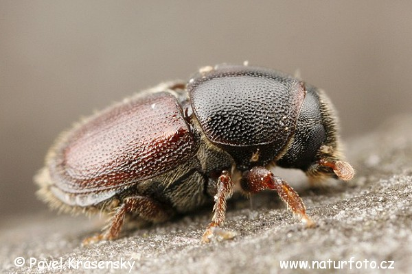 European Oak Bark Beetle