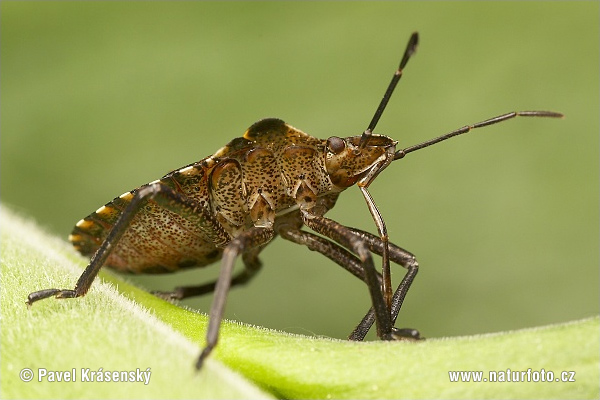 Forest bug (Pentatoma rufipes)