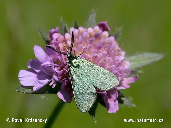 Forester Moth (Adscita statices)