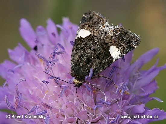 Four-spotted Moth (Tyta luctuosa)