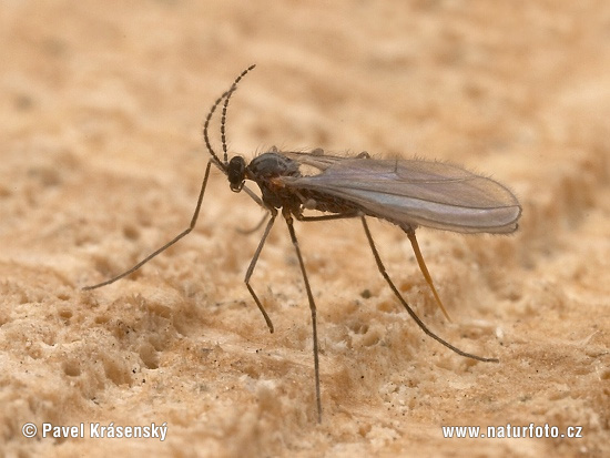Gall Midge (Xylodiplosis Sp.)