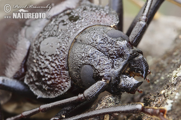 Giant Horned Beetle (Ergates faber)