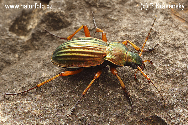 Golden ground beetle (Carabus auratus)