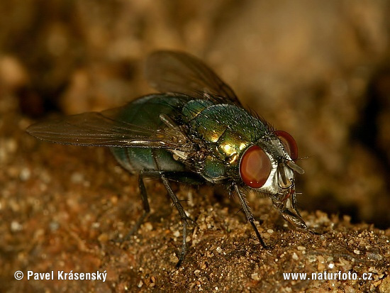Greenbottle (Lucilia caesar)