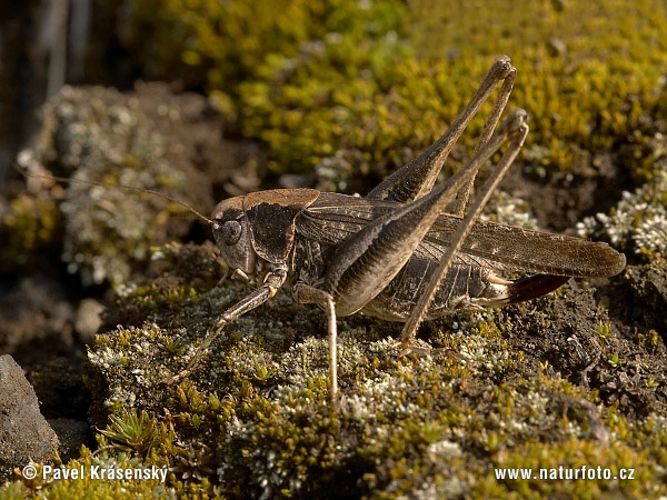 Grey Bush Cricket (Platycleis albopunctata)