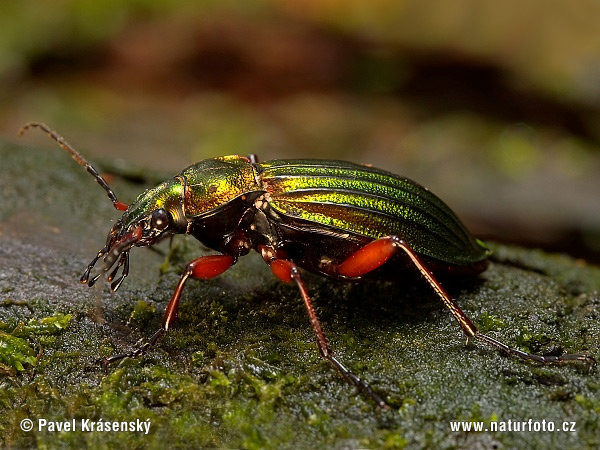 Ground Beetle (Carabus auronitens)