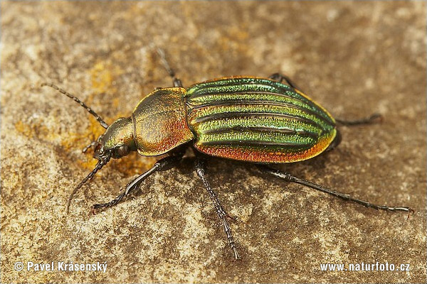 Ground Beetle (Carabus nitens)