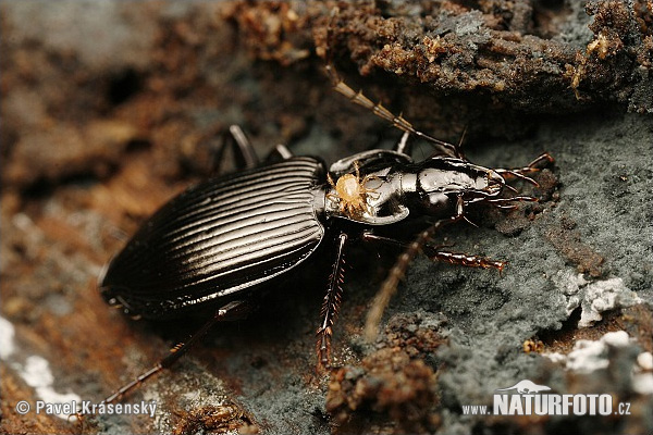 Ground Beetle (Platynus assimilis)