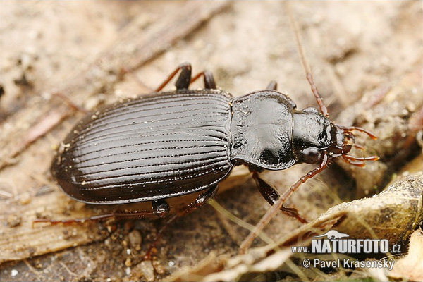 Ground Beetle (Nebria brevicollis)